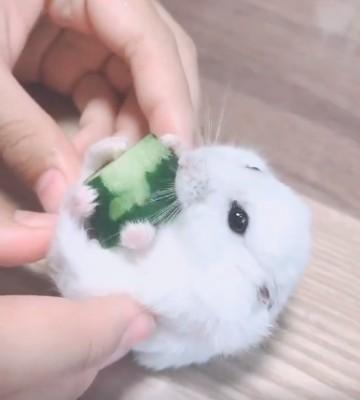 きゅうりが好きすぎて、がっしりホールドして食べるハムスターのダイフクくん(画像提供:TMいちごくんさん)