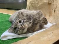 家猫っぽい仕草も…(アズ)