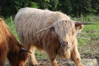 スコットランド牛と呼ばれる「スコティッシュ・ハイランド・キャトル」