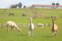 マザー牧場で飼われている動物たち