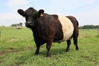 超希少な牛「ホワイトベルティットギャラウェイ」