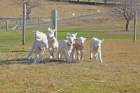 「赤ちゃん羊」 お披露目を楽しみに、多くの人が訪れるという。