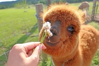 ふわっとした毛が美しいアルパカ 画像提供:マザー牧場