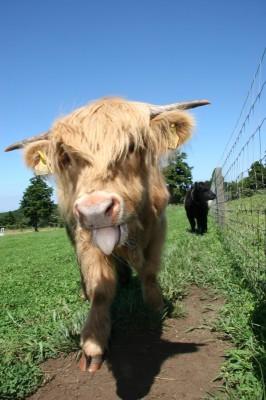 ラグビーで注目を浴びた「スコットランド牛」 画像提供:マザー牧場