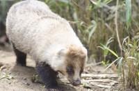 タヌキに似た動物、アナグマのお味は…?