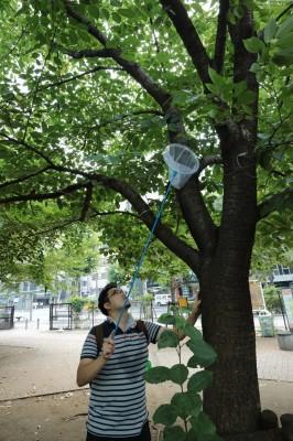 渋谷の街でセミを採取する茸本さん