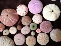 『ウニハンドブック』著者・田中颯さんのウニ殻コレクション