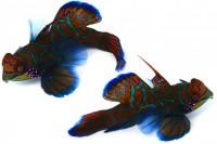ニシキテグリ「 西表島で見つけた想像を絶するくらいド派手な魚。見た目の特徴が渋滞している。地球上の脊椎動物の中でほとんど唯一完全な青い色素を持つ生物」