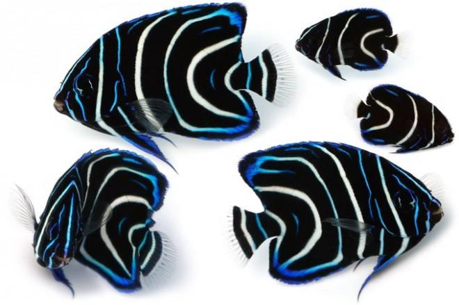サザナミヤッコ(幼魚)「磯の浅場で見つけた。同じ幼魚でもこれまでに撮影していた右上の個体と比べるとかなり大きく、発色の良さも相まってとにかく美しい(゚▽゚)ノ 岩棚などの暗がりに隠れていることが多い。」