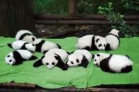 よくSNSで見かける、赤ちゃんパンダがお披露目されているシーンを再現したという