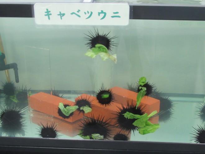 ウニがキャベツをむさぼる姿は一般公開されている