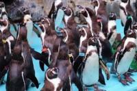 飼育員ミヤさんに詰め寄るペンギンたち