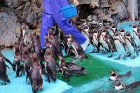 飼育員さんが動くと、移動するペンギンたち