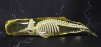 マッコウクジラの玉骨標本