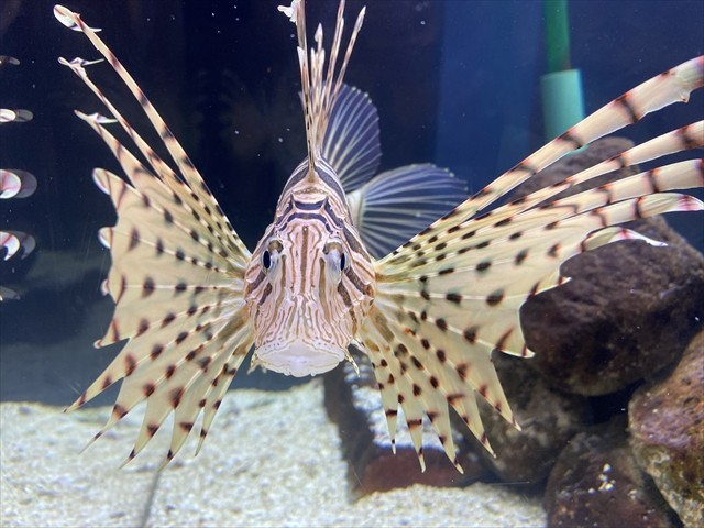 ミノカサゴ「変態予告」の文字に登場した魚