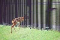「生まれて間もないので、柵という概念がまだ無い子鹿が通れなくて困惑している瞬間」