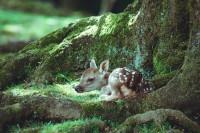 「苔むした木の根っこと子鹿 相性ばつぐん」