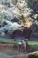 「今朝、桜のほうへ先導してくれた鹿氏」