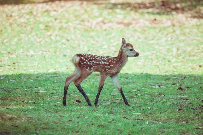 「泥に入り込んでいた子鹿、ハイソックスはいてるみたいになってた かわいい」