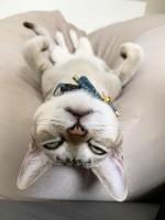 「人をダメにするソファでダメになりすぎる猫」