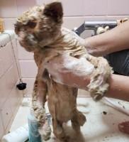薬品を洗い流し、がちがちの毛を洗う。動物虐待の罪深さをあらためて感じる