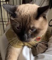『ねこけん』にやってきたタヌキ似の猫。上から見てもタヌキっぽい…