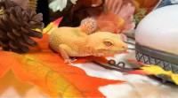 「秋も似合うベル。最高に可愛いと噂(当社比)のうちのレオパは今日も最高に可愛い。」