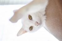 ミリ(メス)1歳未満。1歳未満の子猫のため、お留守番のないご家庭に他の姉妹と2匹セットでの譲渡を希望。人懐っこく人慣れしています。皮膚糸状菌症の治療を行っていますが、ほぼ完治。