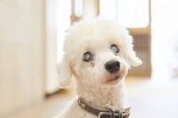 なとし(オス)。8月に東京都動物愛護相談センターから保護。両眼が見えない以外は健康状態問題なく、家の中では特に支障はありません。声帯は保護時には既に除去されていました。