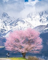 桜の木の下で。