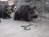 小さなヘビに怯えるクマたち