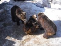 仲良しなクマ同士でじゃれ合う通称「レスリングごっこ」
