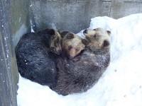冬になると仲良くなるクマの仲良しグループ