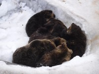 冬に仲良しなクマで集まりおしくらまんじゅう状態のクマたち