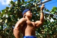 キウイを収穫するマッチョ