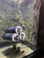 仙台うみの杜水族館の「アナゴの恵方巻」