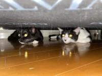 ソファの下で目を光らせるマルオレちゃん(画像提供:藤あや子さんTwitterより)