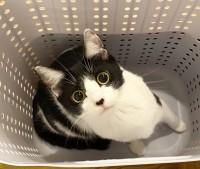 今ではこんなに美しい猫になったオレオちゃん(画像提供:藤あや子さんTwitterより)