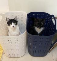 洗濯かごの中でマルオレちゃん(画像提供:藤あや子さんTwitterより)