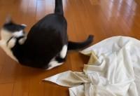 着物を包む風呂敷の上でバトルするマルオレちゃん(画像提供:藤あや子さん)