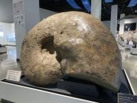 三笠市立博物館のアンモナイト展示