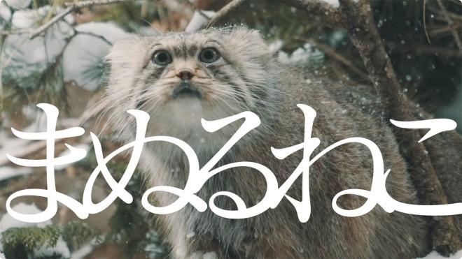 「マヌルネコのうた」より (C)富永省吾