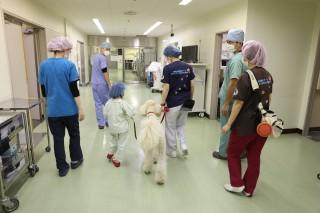 手術室まで患者さんとともに向かうモリス 画像提供:聖マリアンナ医科大学病院