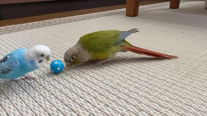 お気に入りのボールをごまちゃん(右)に渡そうとするうめちゃん(左) 写真提供:ぴんふさん