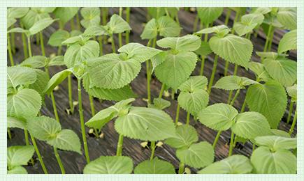 えごまの葉を生産しているマニンサン農協
