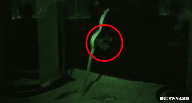 世界で初めて撮影に成功したチンアナゴの産卵行動