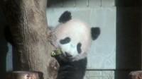 """止まらないシャンシャンフィーバー """"上野のパンダ""""なぜ人気?"""