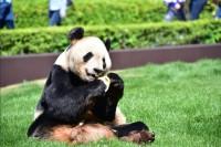 """上野よりすごい? 15頭の繁殖を成し遂げた飼育力、和歌山""""イケメン""""パンダの担当に聞く"""