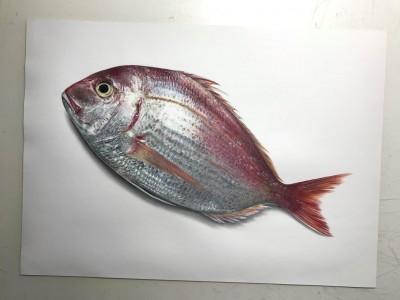イラストの真鯛