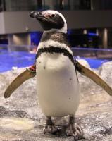 """""""ペンギン総選挙""""を開催のワケとは?「もっと愛して」飼育員の声"""